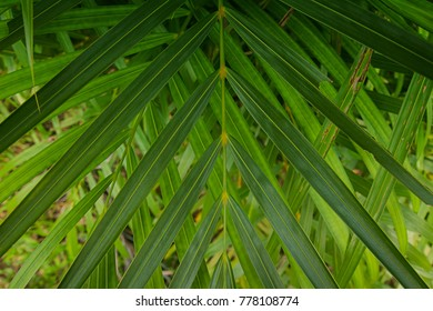Green leaves Palm texture background nature tone at phuket Thailand