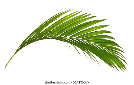 Green leaves of palm tree isolated on white background - Shutterstock ID 514135579