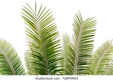 Green leaves of palm tree isolated on white background.