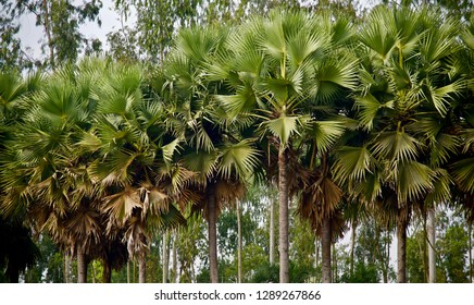 Green leaves of palm trees isolated natural photo