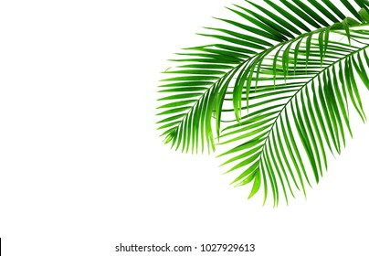Green leaves palms isolated on white,green leaves from tropical.