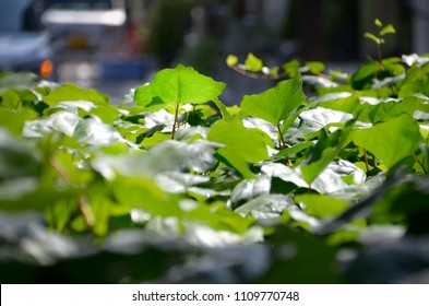 Green leaves in the park for natural tropical wallapaper, background, backdrop