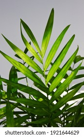 Green leaves of Parlour Palm (Chamaedorea elegans) isolated on white background. Close-up of a houseplant, green leaves of indoor palm