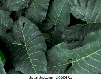 Green Leaves Pattern of Colocasia Plant or Known As Elephant Ear Leaves in Dream Resort Riverside at Bandung. Background and Top View