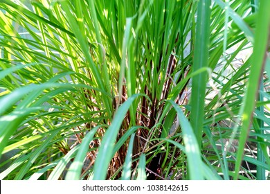 Green leaves pattern of Cymbopogon nardus In the garden