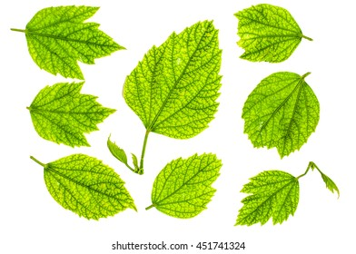 Green Leaves pattern on white background. Flat lay of green leaves on white backdrop, flat lay