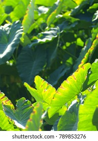 Green leaves pattern of water plant, Colocasia esculenta ( Linn. ) Schott under direct sunlight on a sunny day in a tropical natural wetland