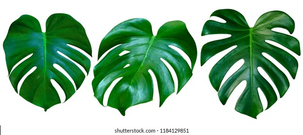 Green leaves pattern,collection leaf monstera isolated on white background