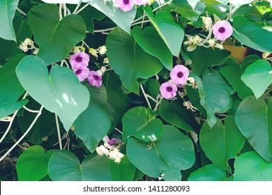 Green leaves pattern,Elephant Creeper Silver or Baby Hawaiian Woodrose tree in the garden