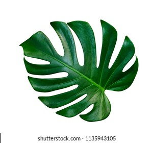 Green leaves pattern,leaf monstera isolated on white background,include clipping path