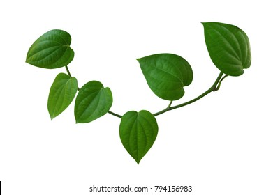 Green leaves of peppercorn plant isolated on white background, clipping path included