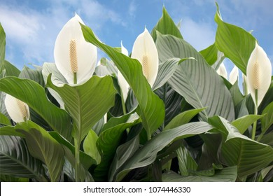 Green Leaves Of Plant Flower Spathiphyllum. It Is A Genus Of About 40 Species Of Monocotyledonous Flowering Plants In Family Araceae,