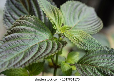 Green leaves of a plant with purple color on the edge