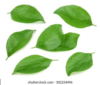 Green leaves of plum isolated