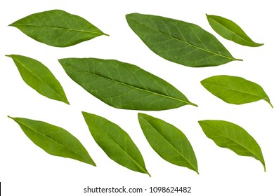 Green leaves of Privet isolated on white.