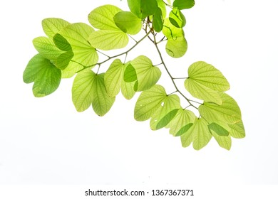 Green leaves of Purple Bauhinia Orchid tree under sunlight, also known as Hong kong Orchid or Butterfly tree, tropical plant in southeast asia, isolated on white background