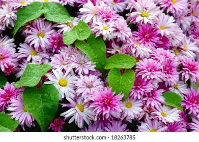 Green leaves and purple daisy