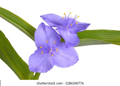 Green leaves and purple flowers of the North American native perennial plant spiderwort (probably a hybrid involving Tradescantia virginiana and T. ohiensis) isolated against a white background