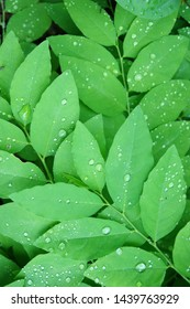 Green leaves with rain drop