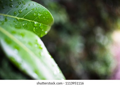 Green leaves with rain droplets background in Croatia