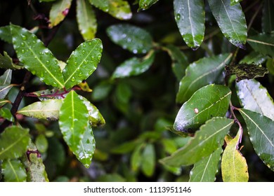 Green leaves with rain droplets background, Croatia