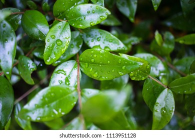 Green leaves with rain droplets in brown thin branch background, Croatia