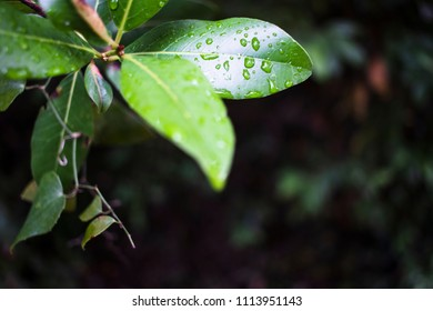 Green leaves with rain droplets in dark background in Croatia