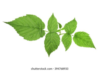 Green leaves of a raspberry on a white background without shadows.