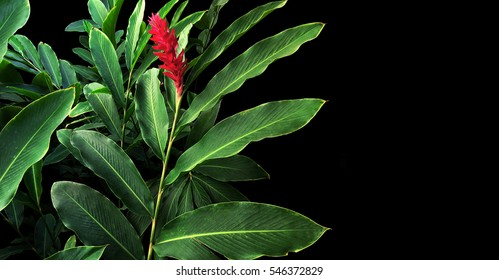 Green leaves with red flower bloom of red ginger (Alpinia purpurata), tropical forest plant on black background.
