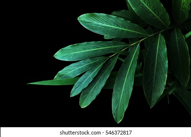 Green leaves of red ginger (Alpinia purpurata), tropical forest plant on black background.