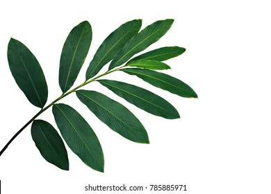 Green leaves of red ginger (Alpinia purpurata), tropical forest plant isolated on white background, clipping path included.