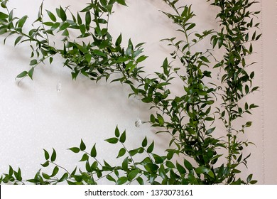 Green leaves of Ruscus in front of a white wall