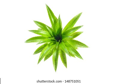 Green leaves of Sapling of pineapple on white background.