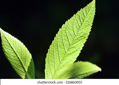 Green leaves with serrated edges and prominent veins against black backdrop