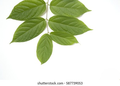 green leaves set on white screen background, isolated
