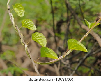 Green leaves shape hearts of Devil's Trumpet on branch with green nature blurred background. known as jimsonweed, devil's snare, devil's trumpet, moon flower, toloache, hell's bells, Jamestown weed.