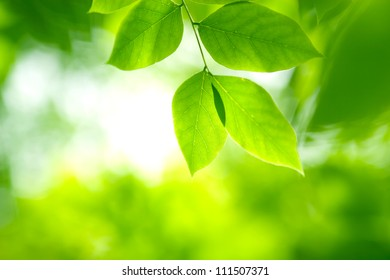 Green leaves in soft sunlight in the forest