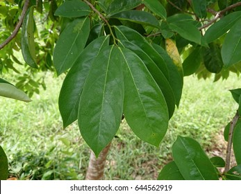 Green leaves of soursop (annona muricata) on tree.