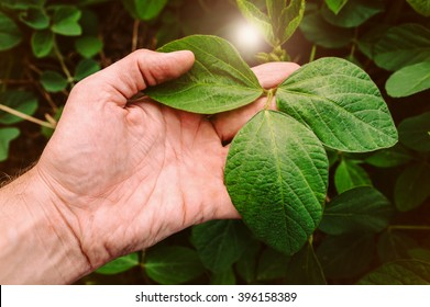 Green leaves of soy bean in hand.