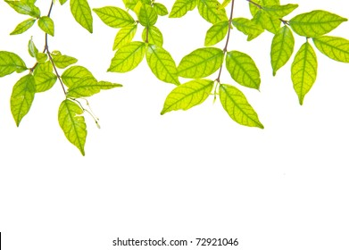 Green leaves with space for text on white