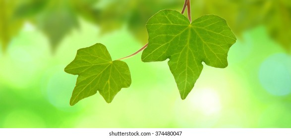 Green leaves in spring