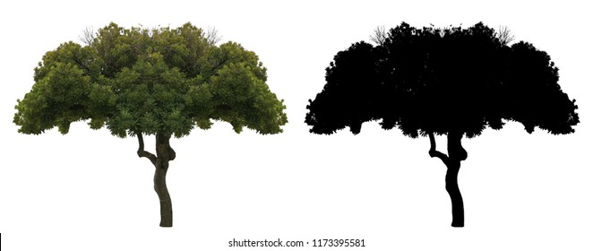 a green leaves suicide or Othalanga tree with black alpha mask isolated on white background.