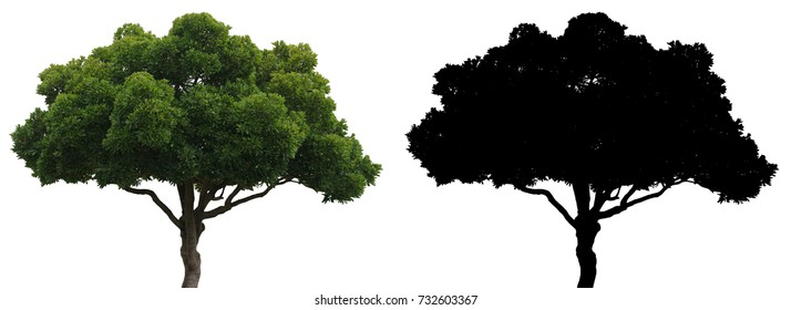 A green leaves suicide or Othalanga tree and black alpha mask isolated on white background with clipping path
