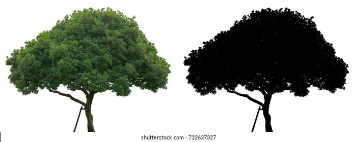A green leaves suicide or Othalanga tree and black alpha mask isolated on white background.