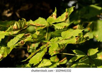 Green Leaves in the Sun Closeup