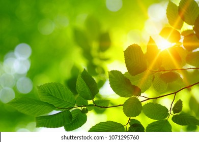 Green leaves and sun in spring.