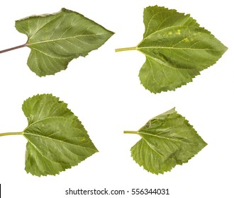 Green leaves of a sunflower isolated on a white background