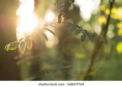 Green Leaves Sunset Bokeh Glares
