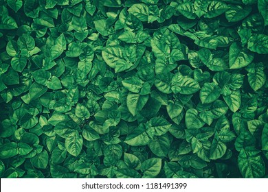 Green Leaves Texture Background.