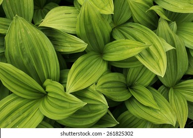 Green leaves texture background macro, False Hellebore toxic plant